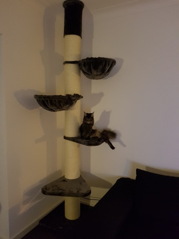 Maine_Coon_Tower_Antraciet_Renate